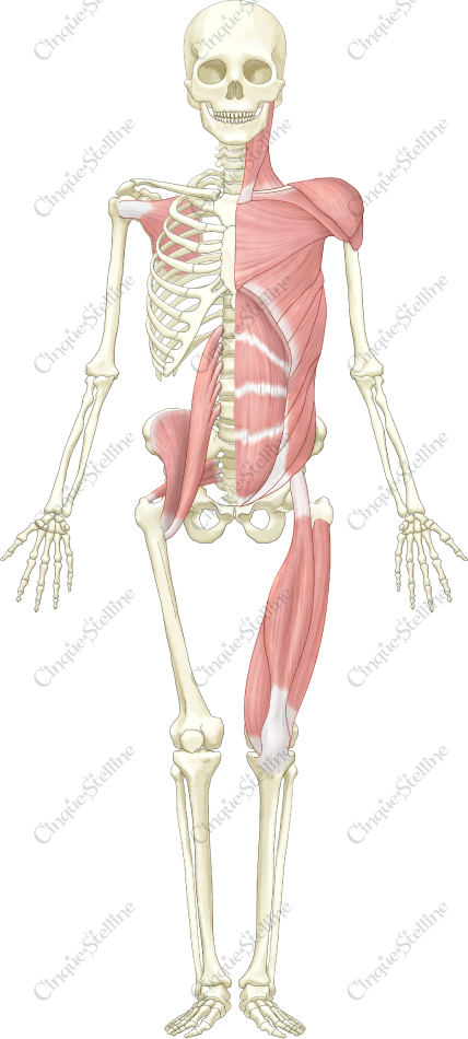 骨格と筋肉-前方: muscle and skeleton, front side